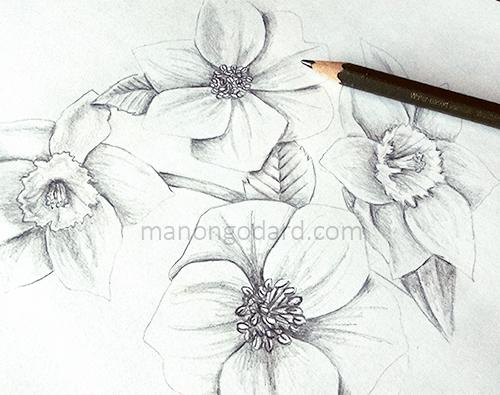 Dessin de narcisses et hellébores au crayon