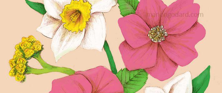 «Narcisses et hellébores» – Illustration florale